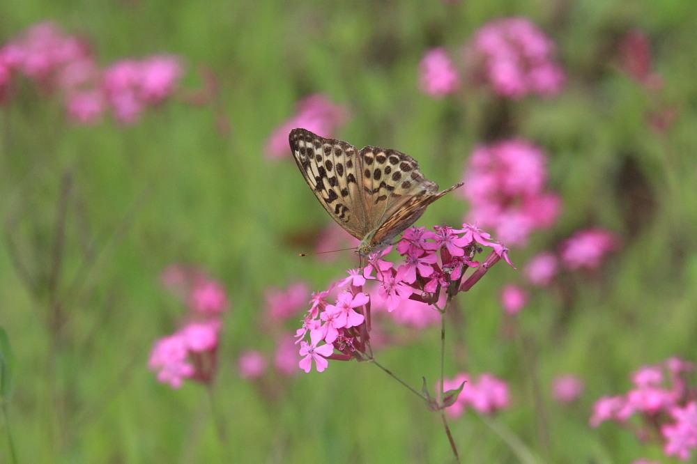 スジボソヤマキチョウ ♀雌の青白さもいいですね。 2013.9.6長野県_a0146869_12501646.jpg