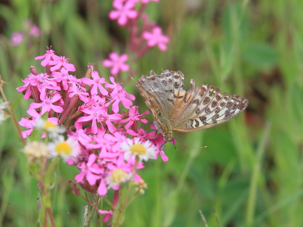 スジボソヤマキチョウ ♀雌の青白さもいいですね。 2013.9.6長野県_a0146869_12502569.jpg