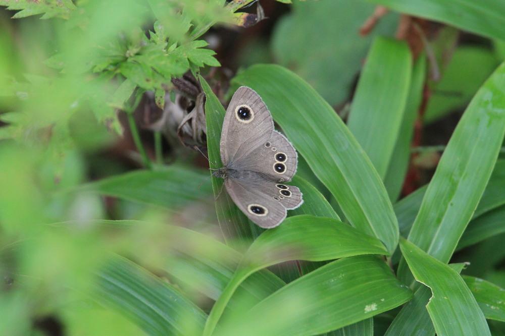 スジボソヤマキチョウ ♀雌の青白さもいいですね。 2013.9.6長野県_a0146869_1259150.jpg