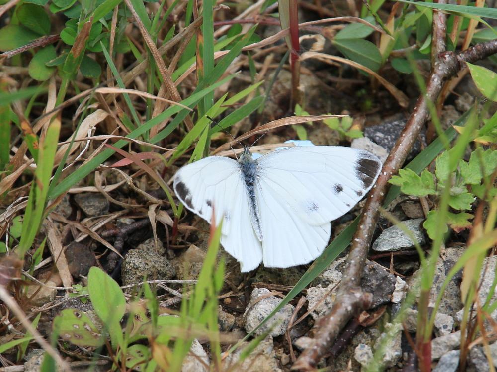 スジボソヤマキチョウ ♀雌の青白さもいいですね。 2013.9.6長野県_a0146869_1303613.jpg