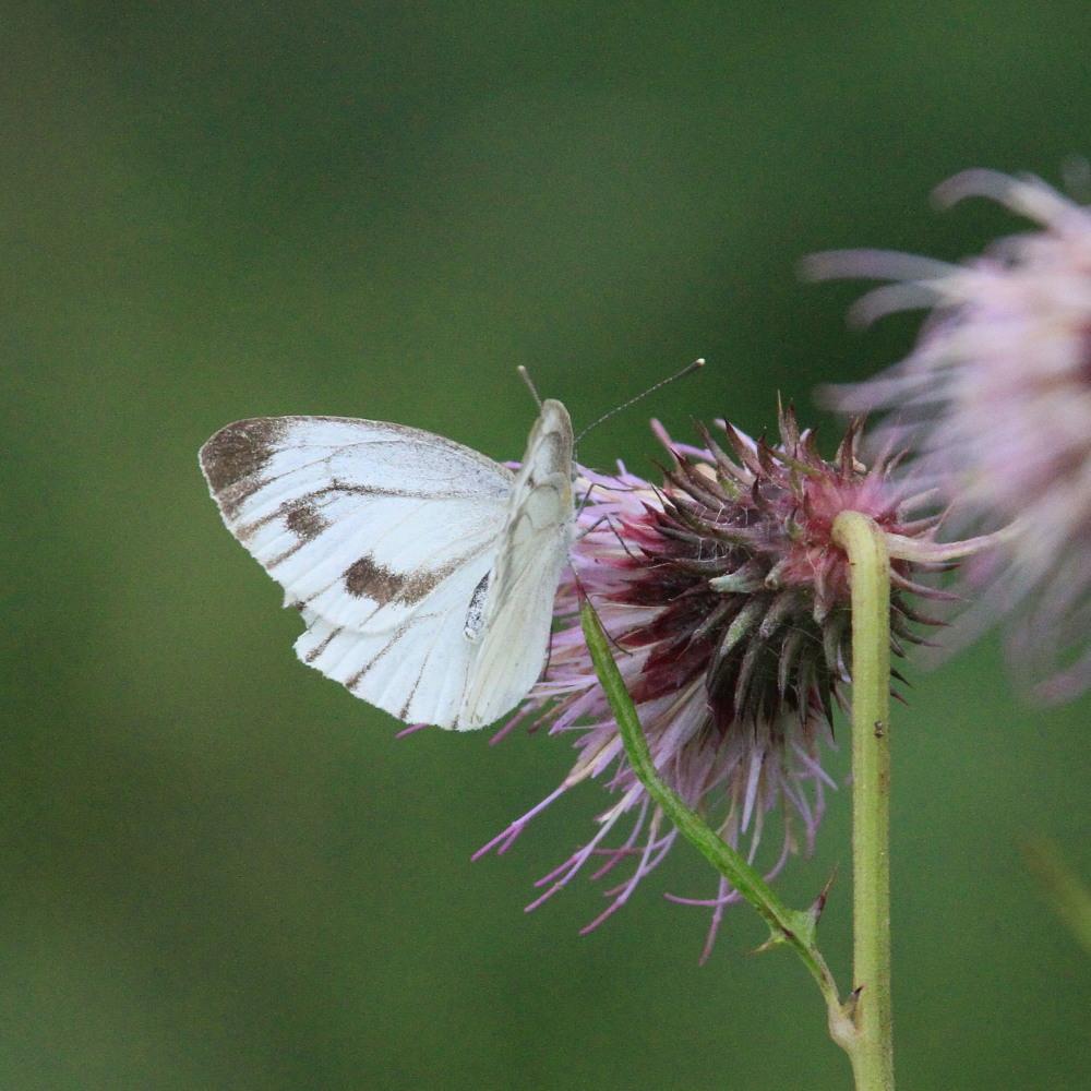 スジボソヤマキチョウ ♀雌の青白さもいいですね。 2013.9.6長野県_a0146869_1304241.jpg