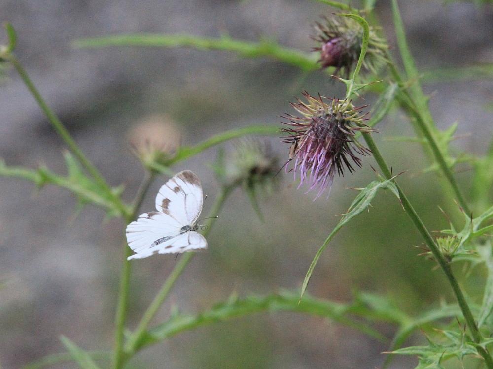スジボソヤマキチョウ ♀雌の青白さもいいですね。 2013.9.6長野県_a0146869_1304965.jpg
