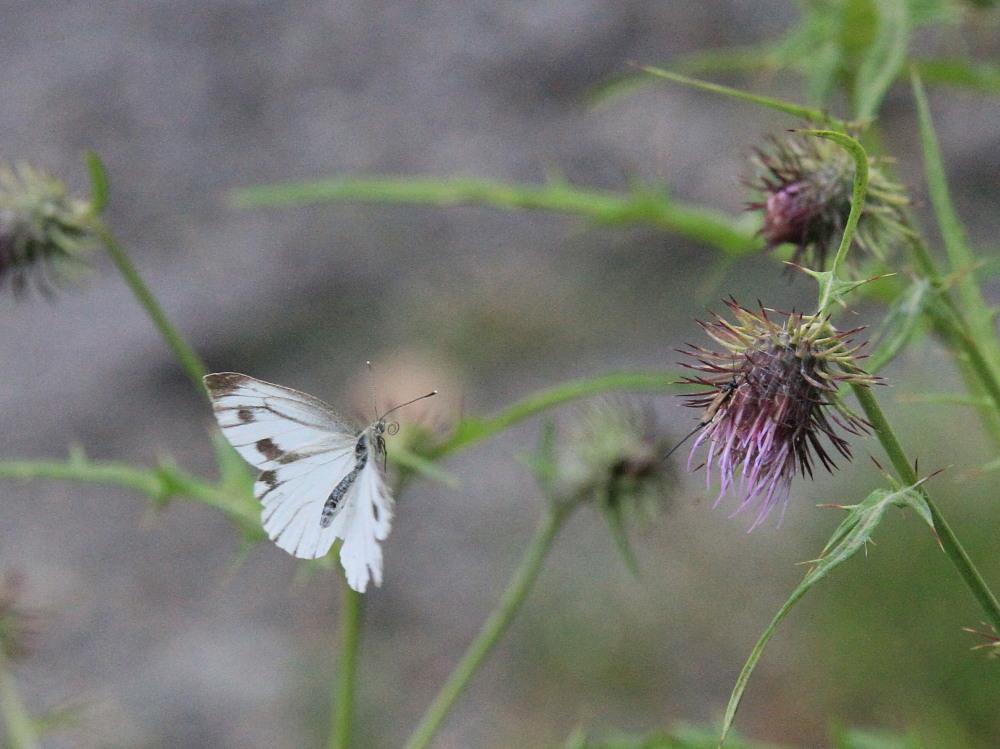 スジボソヤマキチョウ ♀雌の青白さもいいですね。 2013.9.6長野県_a0146869_1305556.jpg
