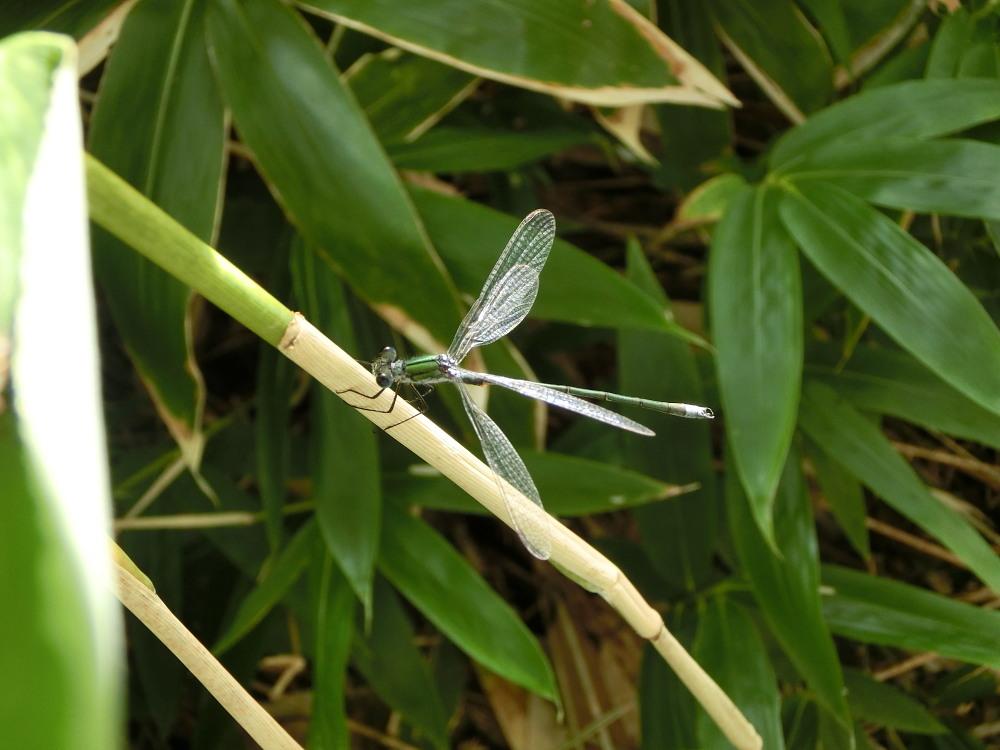 スジボソヤマキチョウ ♀雌の青白さもいいですね。 2013.9.6長野県_a0146869_1316719.jpg