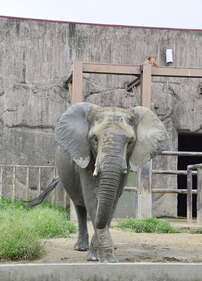2013.9.7 東武動物公園☆象のあいちゃんときょうこちゃん【Elephant】_f0250322_1304577.jpg