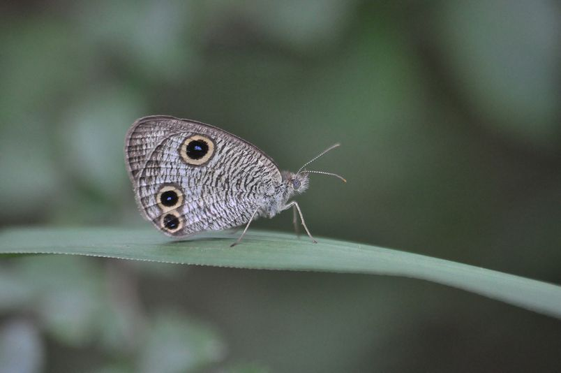 9月16日(暴風雨のちくもり)タイトル:蝶は強か_f0105542_14363154.jpg