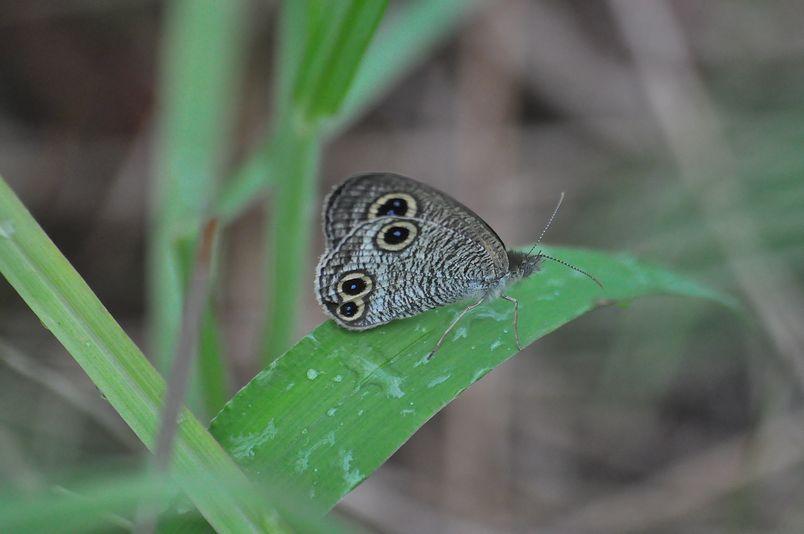 9月16日(暴風雨のちくもり)タイトル:蝶は強か_f0105542_14365872.jpg