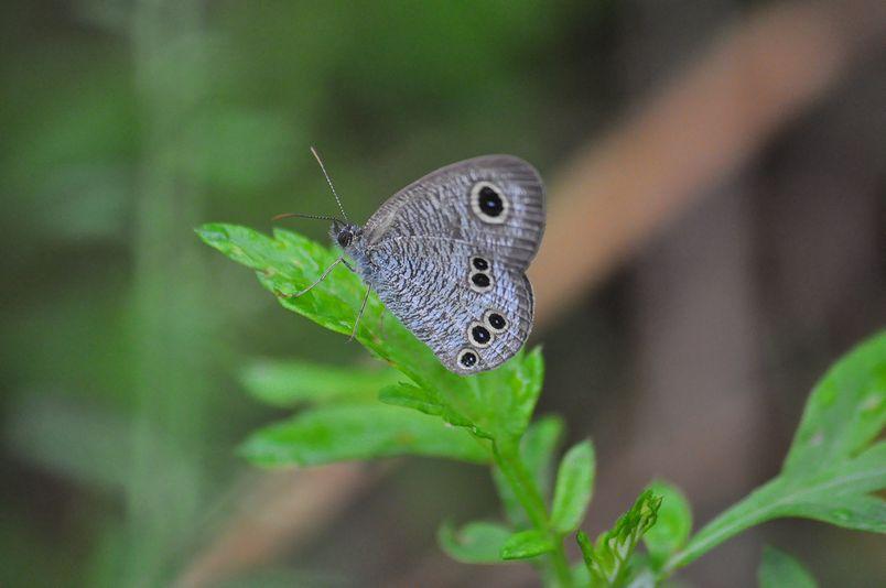 9月16日(暴風雨のちくもり)タイトル:蝶は強か_f0105542_143698.jpg