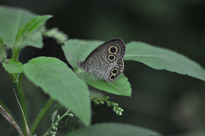 9月16日(暴風雨のちくもり)タイトル:蝶は強か_f0105542_1437194.jpg