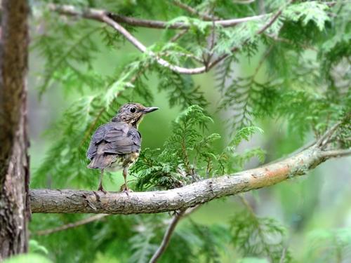 山麓のクロツグミ幼鳥_a0204089_6525823.jpg