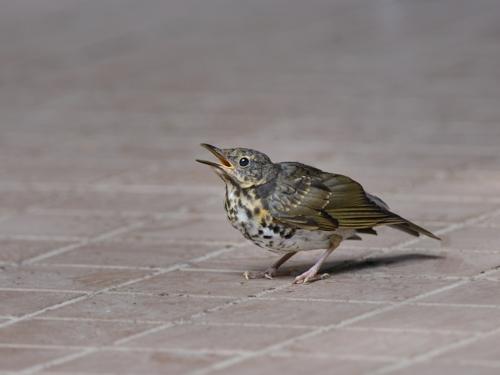 山麓のクロツグミ幼鳥_a0204089_6531169.jpg