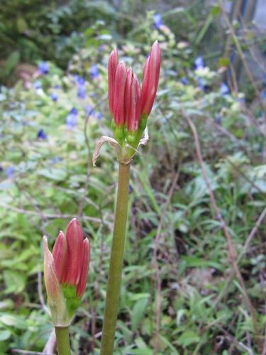 彼岸花が咲きました!_e0221708_13492476.png