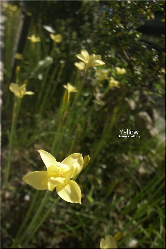 黄色い花_f0156117_78189.jpg