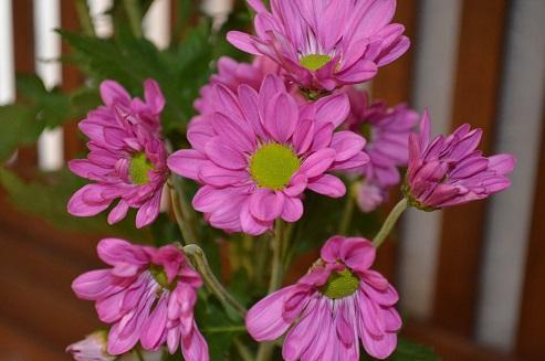 ピンクの菊 一種生け_d0230676_13345995.jpg