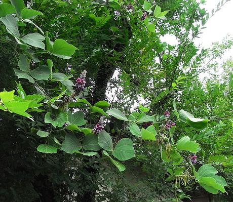 親愛なる、そのへんの植物-13 「クズの花」_d0163696_12391522.jpg