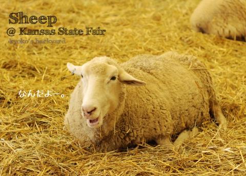 Kansas State Fairの思い出 <羊>_b0253205_0451019.jpg