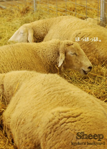 Kansas State Fairの思い出 <羊>_b0253205_0485493.jpg