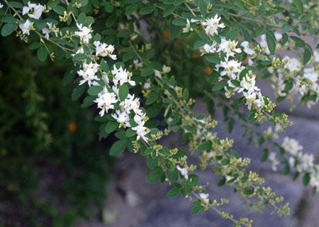 今の庭の花_c0081499_21415872.jpg
