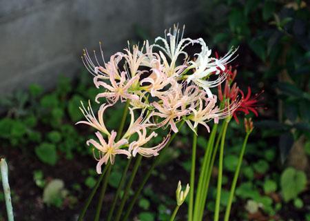 今の庭の花_c0081499_21443219.jpg