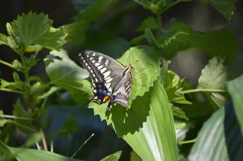 キアゲハ 庭のパセリに産卵_d0254540_1843255.jpg