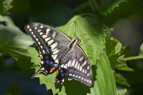 キアゲハ 庭のパセリに産卵_d0254540_18434638.jpg
