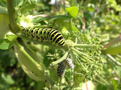 キアゲハ 庭のパセリに産卵_d0254540_18484953.jpg