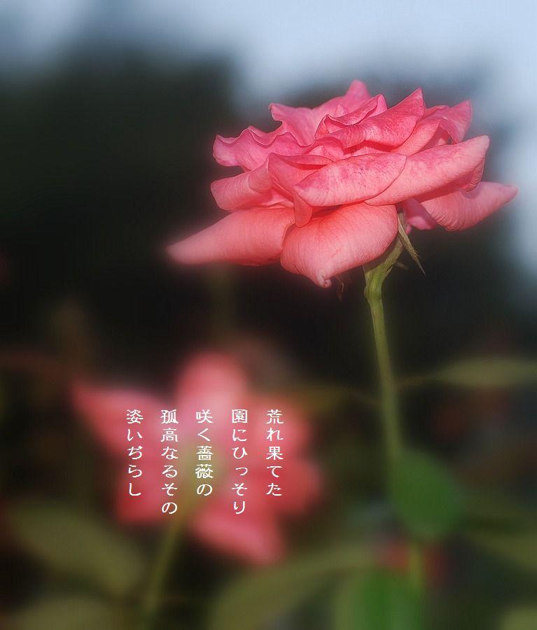 秋薔薇_c0187781_1263832.jpg