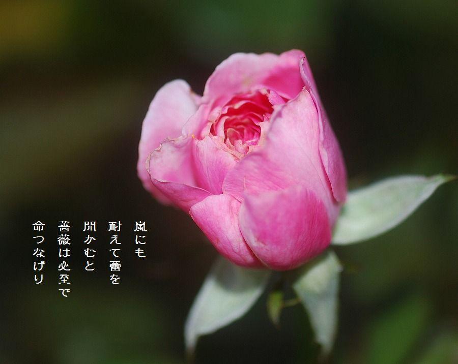 秋薔薇_c0187781_1491875.jpg
