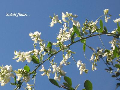 白花萩の、青空の向こう側から・・・♪_c0098807_2055293.jpg