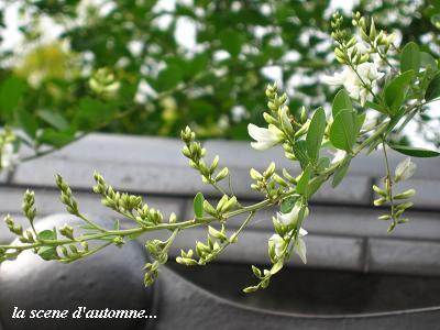 白花萩の、青空の向こう側から・・・♪_c0098807_20561493.jpg