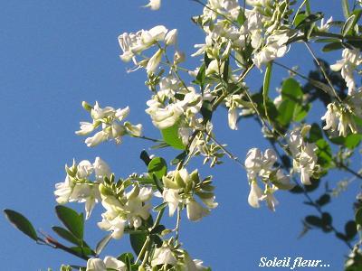 白花萩の、青空の向こう側から・・・♪_c0098807_20575542.jpg