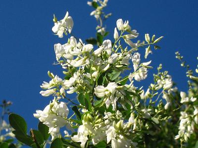 白花萩の、青空の向こう側から・・・♪_c0098807_2101575.jpg
