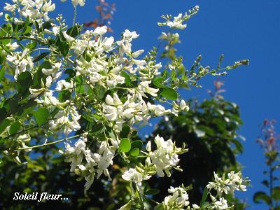 白花萩の、青空の向こう側から・・・♪_c0098807_2110072.jpg