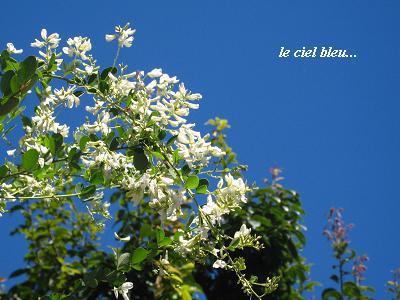 白花萩の、青空の向こう側から・・・♪_c0098807_2142350.jpg
