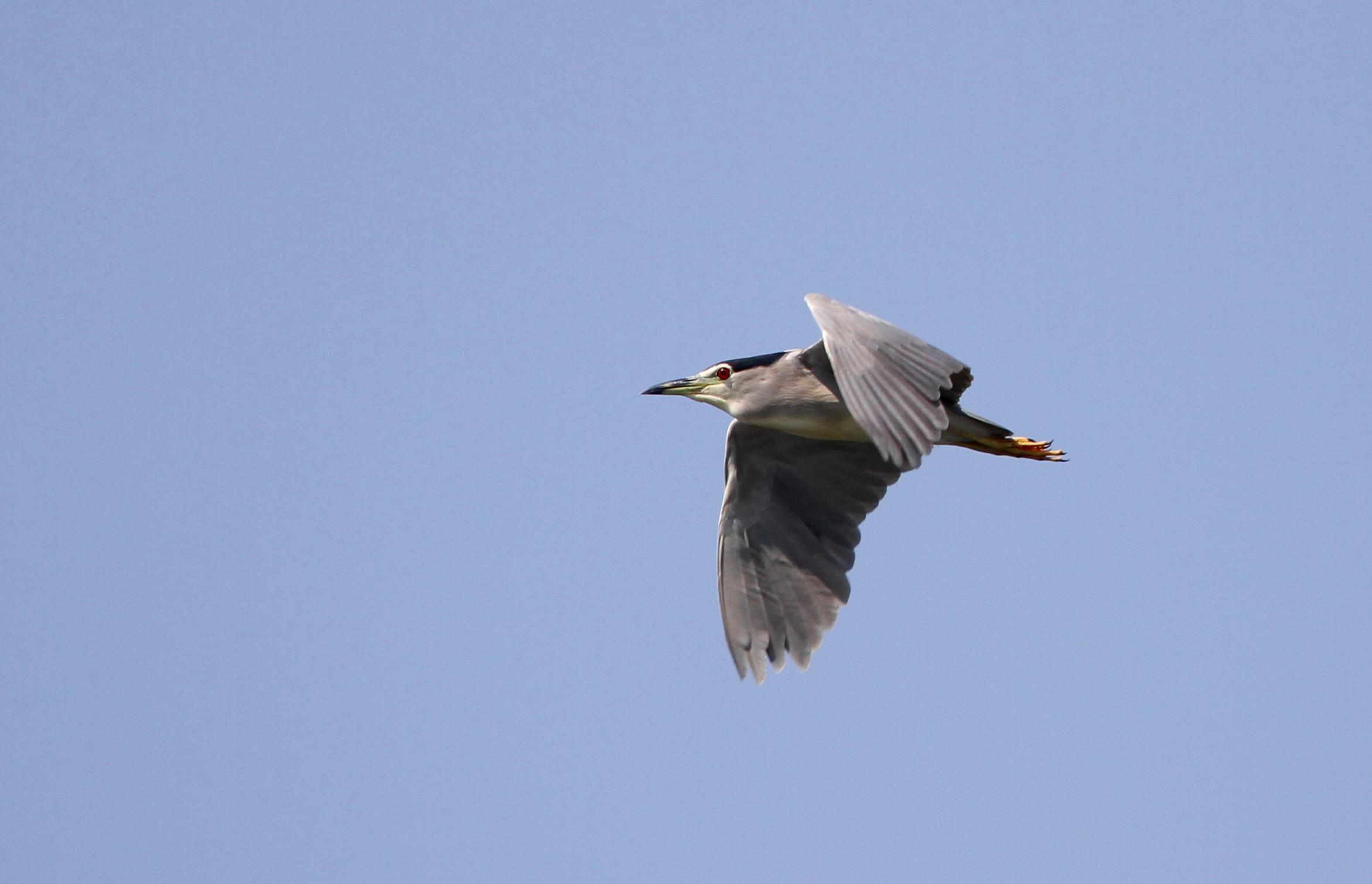 ゴイサギの飛翔_f0239515_1929276.jpg