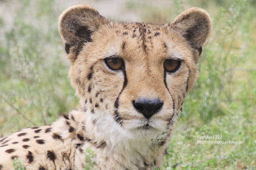 2013.5.28 群馬サファリ☆チーターのザンとフェリー 【Cheetah】_f0250322_21451084.jpg