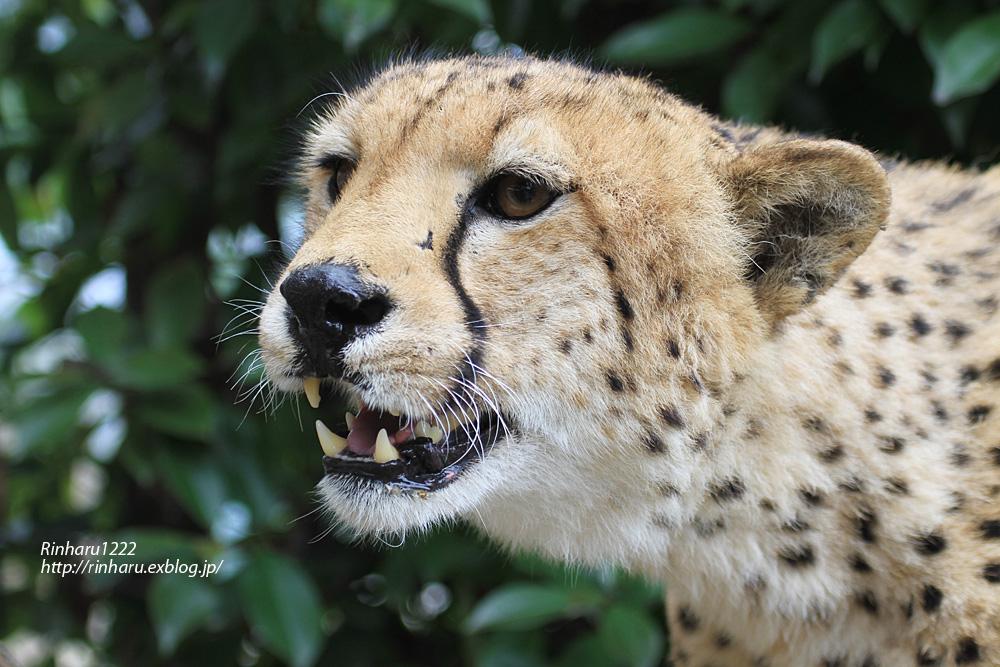 2013.5.28 群馬サファリ☆チーターのザンとフェリー 【Cheetah】_f0250322_21451116.jpg
