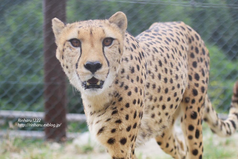 2013.5.28 群馬サファリ☆チーターのザンとフェリー 【Cheetah】_f0250322_21455727.jpg