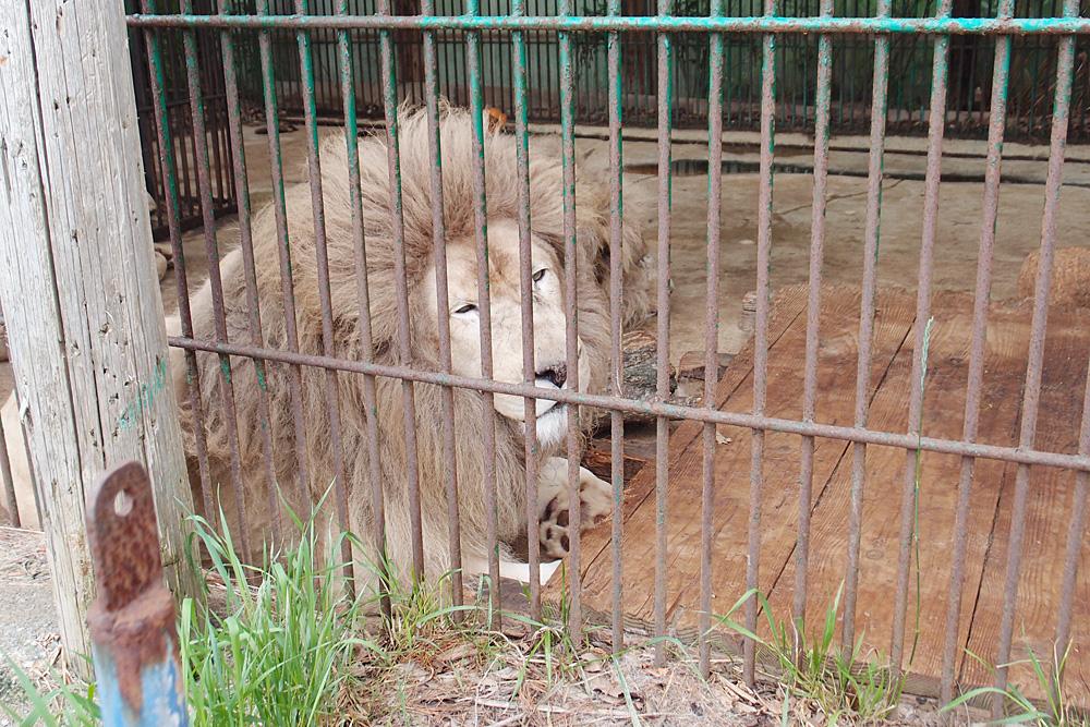 2013.6.16 東北サファリ☆ホワイトライオンのセナ、スタット、ポート、クリップ 【White lion】_f0250322_22282935.jpg