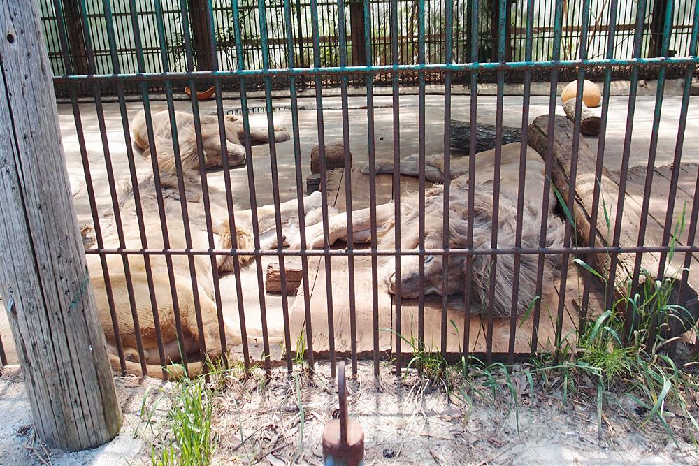 2013.6.16 東北サファリ☆ホワイトライオンのセナ、スタット、ポート、クリップ 【White lion】_f0250322_22283084.jpg