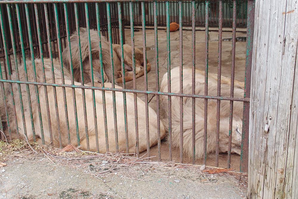 2013.6.16 東北サファリ☆ホワイトライオンのセナ、スタット、ポート、クリップ 【White lion】_f0250322_22283197.jpg