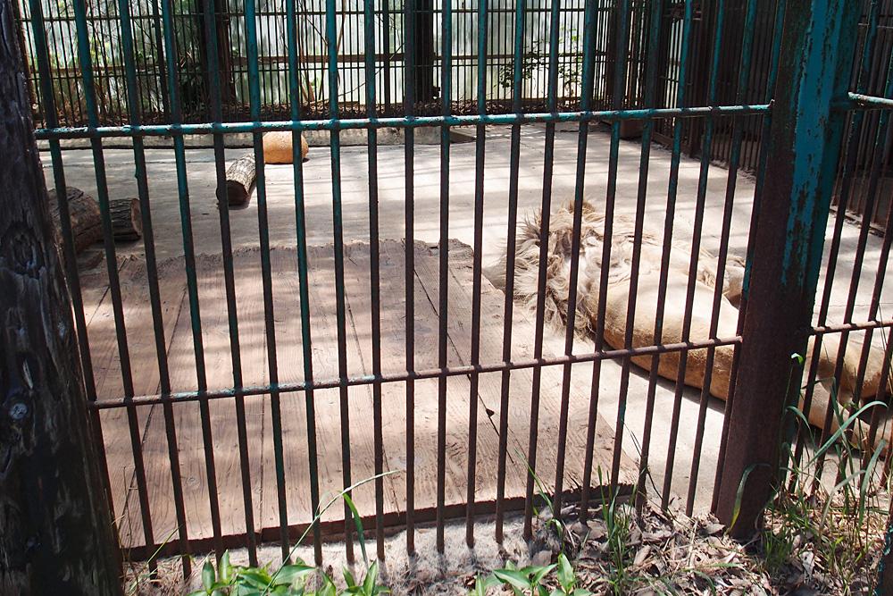 2013.6.16 東北サファリ☆ホワイトライオンのセナ、スタット、ポート、クリップ 【White lion】_f0250322_22294636.jpg