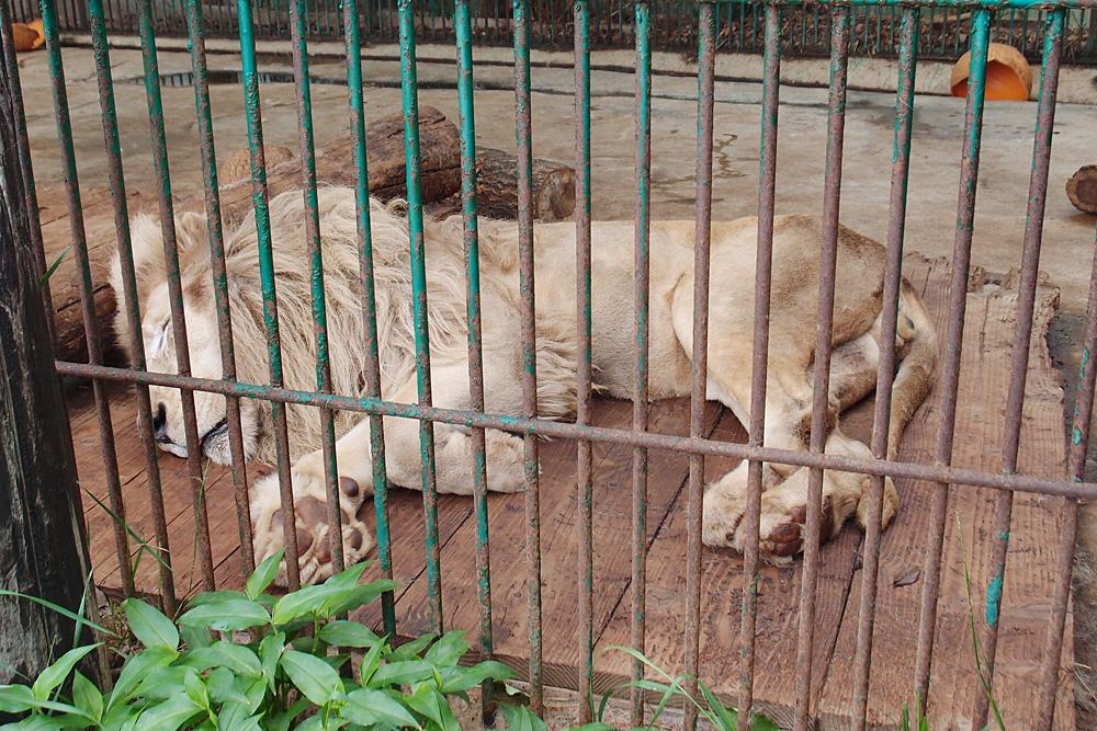 2013.6.16 東北サファリ☆ホワイトライオンのセナ、スタット、ポート、クリップ 【White lion】_f0250322_22294763.jpg