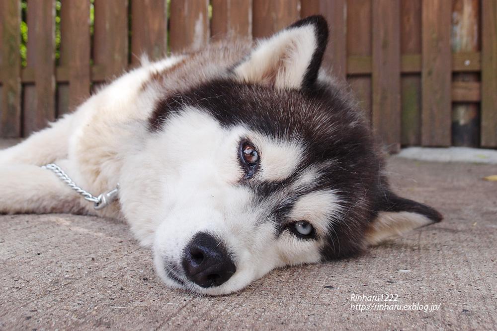 2013.6.30 しろとり動物園☆犬のココ【Dog】_f0250322_22401220.jpg