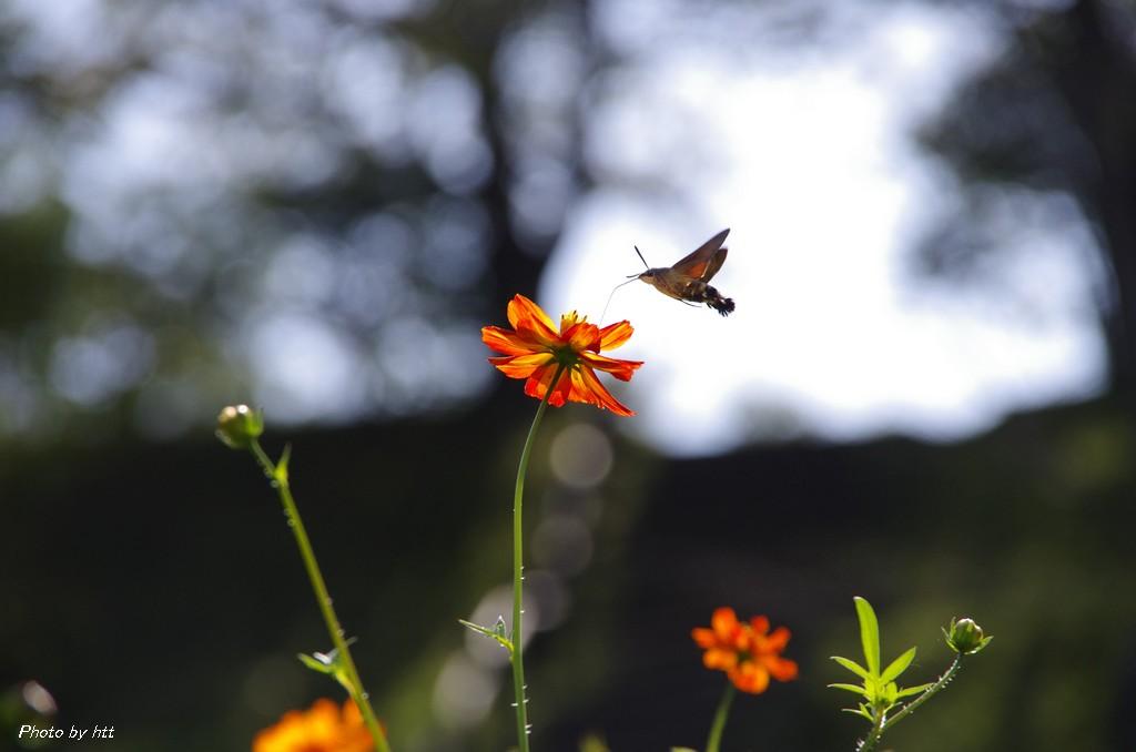 2013年9月21日 コスモス園にハチドリみたいな昆虫を見た_f0148627_23221033.jpg