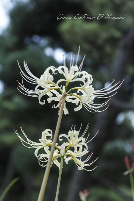 花のある風景 夏の終わりの花 白のヒガンバナ_b0133053_2163630.jpg