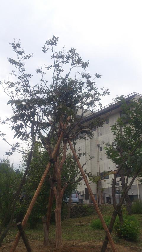サルスベリの木を植樹。_d0182179_1558545.jpg