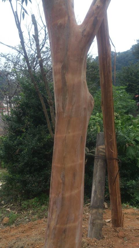サルスベリの木を植樹。_d0182179_15591028.jpg