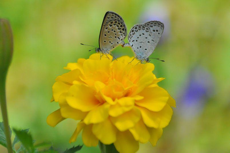 9月22日~23日(晴れ時々くもり)タイトル:ミドリヒョウモンの生態_f0105542_17472135.jpg
