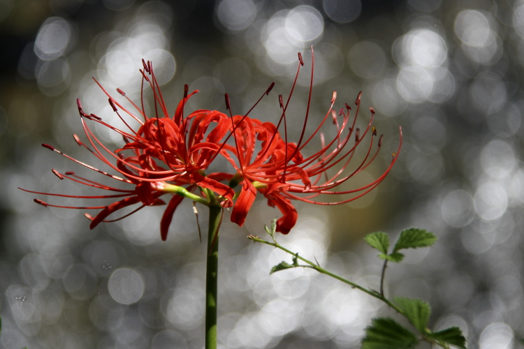 Lycoris radiata_f0281446_2211267.jpg